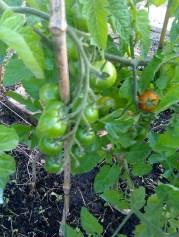 first ripeish tomato