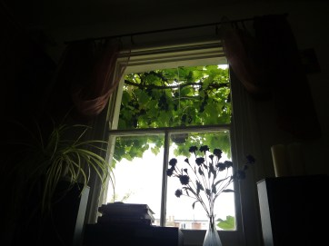 room with a view (of a grapevine)