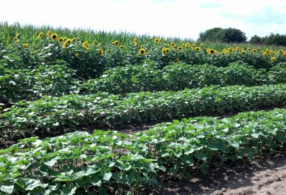 The rows are planted in succession to insure fresh blumes for several months.