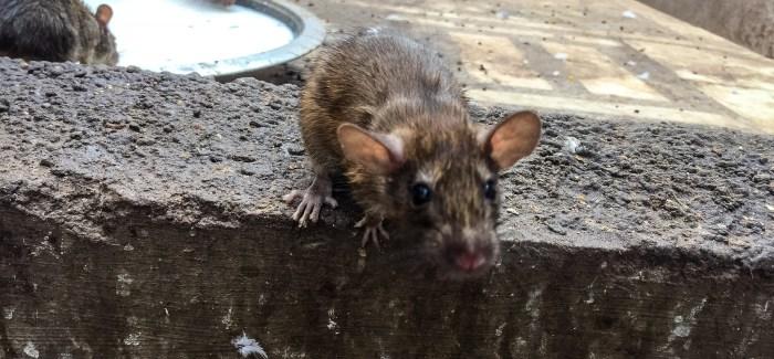 Die Ratten sind los