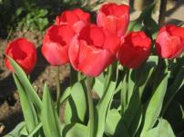 Bulgaria, Tulips in the spring