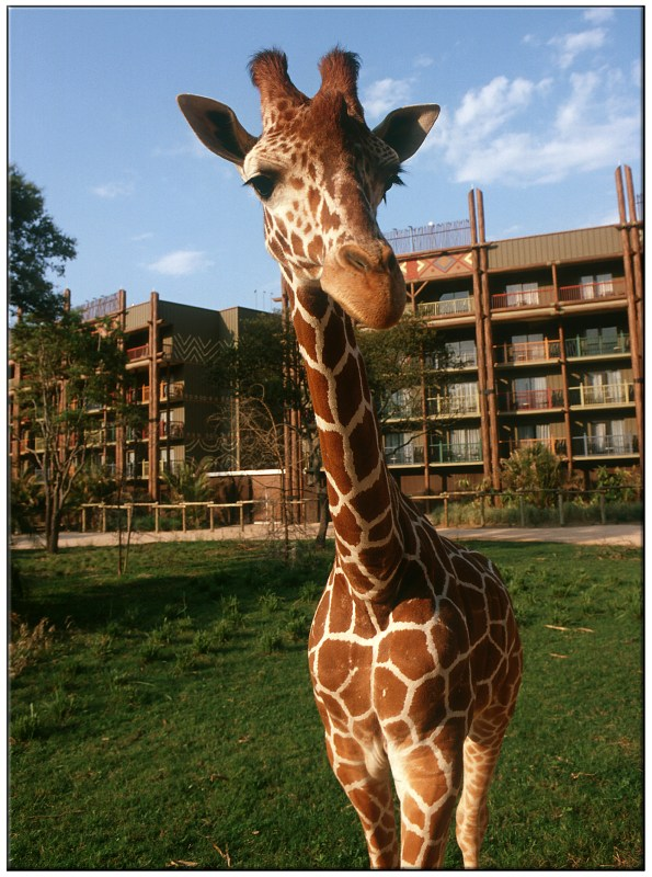 Giraffes get up close and personal at the Animal Kingdom Lodge; Photographer Gene Duncan