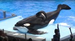 Tilikum-Sea-World