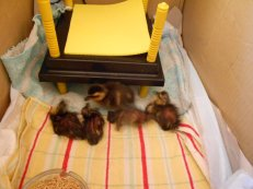 newly hatched mallard ducklings