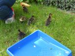 ducklings outdoors for the first time