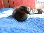 A sleepy duckling