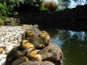 mallard ducklings resting on pond edge