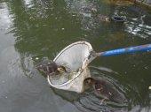 ducklings climbing on pond net