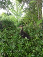 duckling on hillock