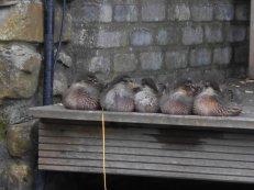 Sitting ducks in a row