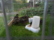 Mealtime in the outdoor pen
