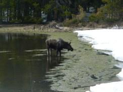 Rocky Mountain National Park_Bierstadt Lake_baby elk_12