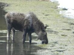Rocky Mountain National Park_Bierstadt Lake_baby elk_14