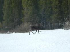 Rocky Mountain National Park_Bierstadt Lake_baby elk_22