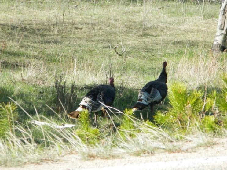 Rocky Mountain National Park_wild turkeys