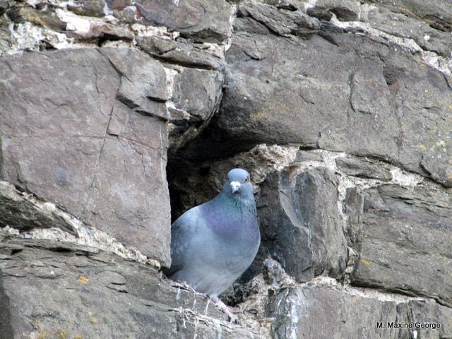 Conwy Castle, Wales pidgeon