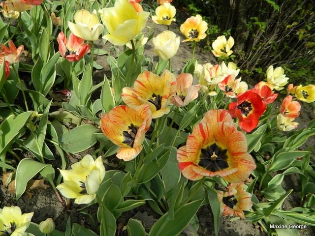 Tulips in Major's Hill Park, Ottawa Tulip Festival