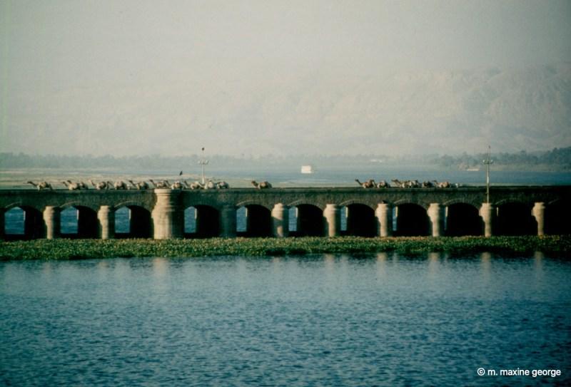 Camels crossing the barrage Esna