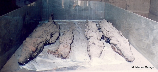 Mummies of the ancient crocodiles that lived on the Nile