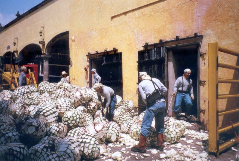 Sorting agave pineapples in Tequila, Mexico