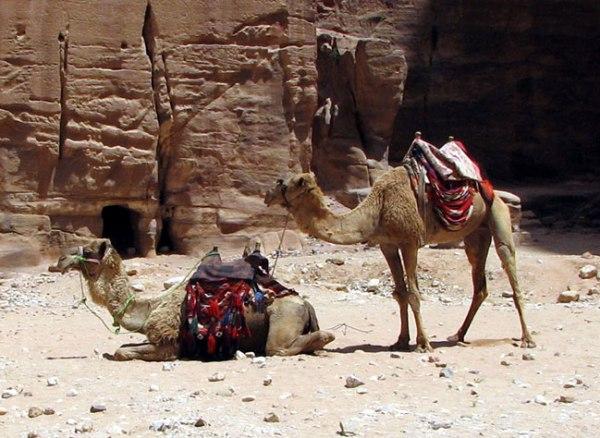 Camels for hire in Petra, Jordan