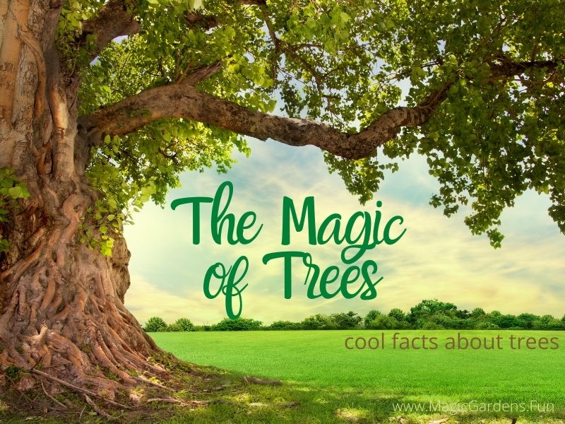 Trees in a forest and the words Magic Of Trees