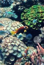 6691 sealife clownfisch saum&seligkeit