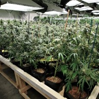 Marihuana przełomem w zrozumieniu i leczeniu cukrzycy
