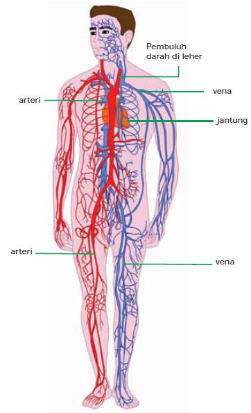 Gambar Pembuluh darah manusia IPA Kelas 5 Tema 4 Subtema 1
