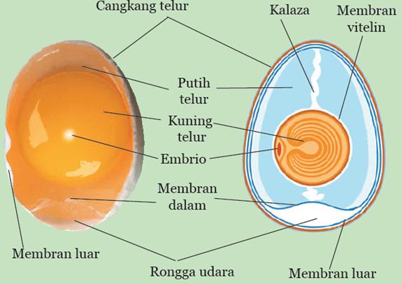Bagian-bagian dari Telur