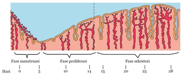 Materi IPA Kelas 9 Siklus Menstruasi Pada Perempuan