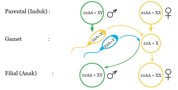 Diagram Kromosom Perkawinan Laki-Laki dengan Perempuan