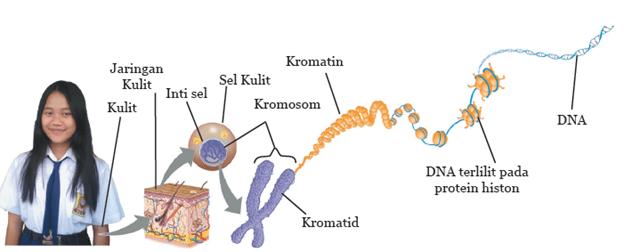 Gambaran Untaian Molekul DNA pada Suatu Sel
