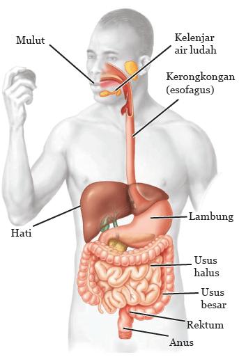Struktur dan fungsi sistem pencernaan makanan pada manusia terdiri atas organ utama dan organ aksesori