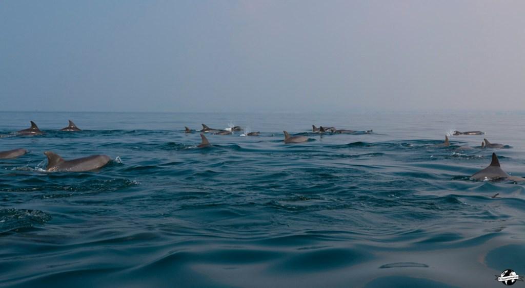 dauphins hengam