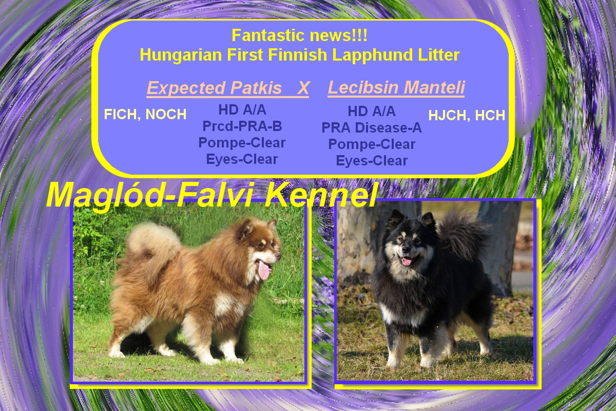 finnish lapphund puppies