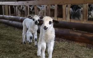 animale sacrificaate