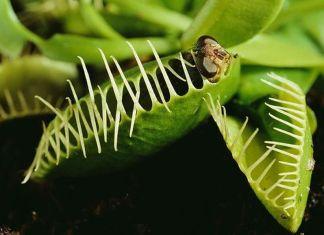 planta carnivoră