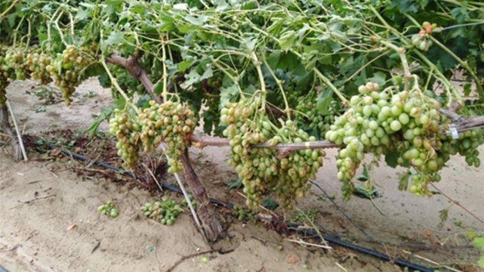 Grape Trees