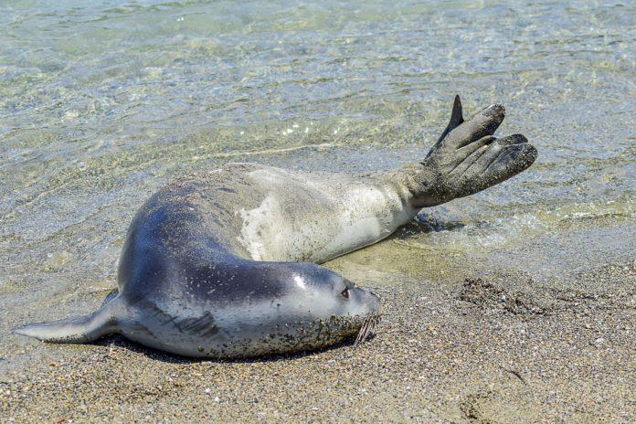 Αλόννησος: Φώκια δάγκωσε 50χρονη τουρίστρια