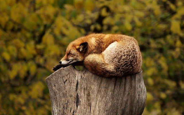 Κρέμασαν νεκρή αλεπού σε δέντρο με μάσκα και αναπνευστήρα (σκληρές εικόνες)