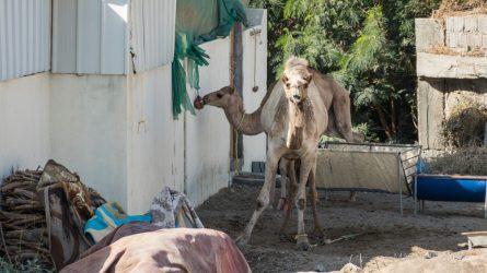 Zagroda wielbłądów