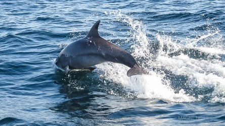 Wyskakujący zwody delfin