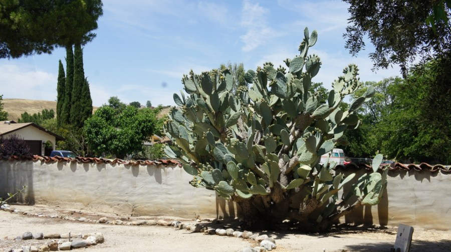 Cactus at Mission San Miguel