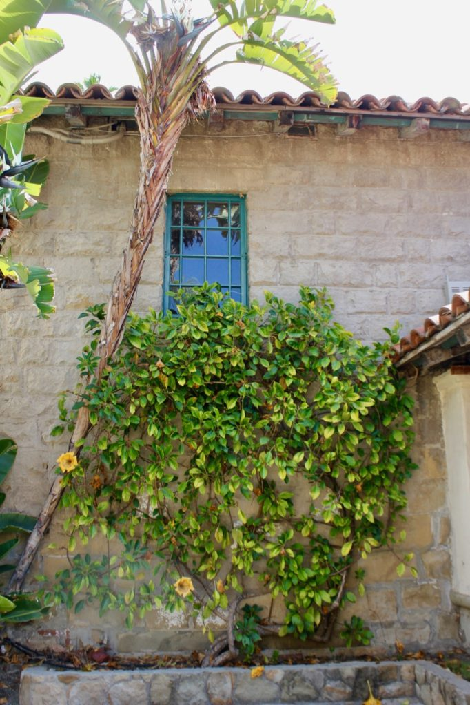 Vine at Mission Santa Barbara