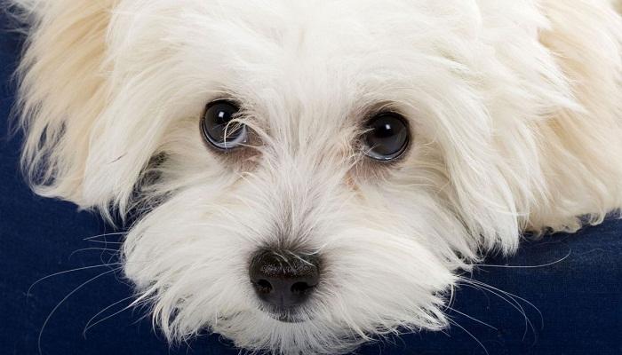 Cara del perro Maltés