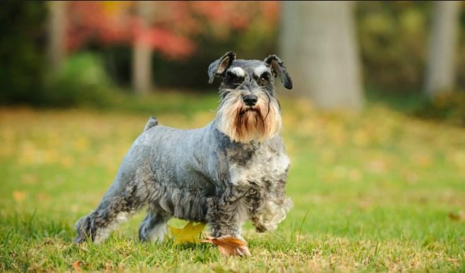 raza de perros schnauzer