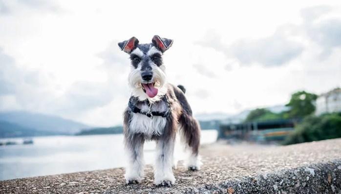 características esenciales de la raza de perros Schnauzer