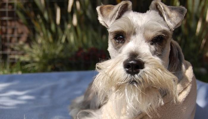 clasificaciones de la raza de perros Schnauzer