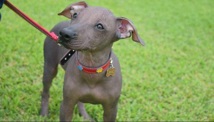 razas de perros consideradas hipoalergénicas